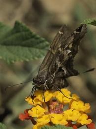 Brown moth