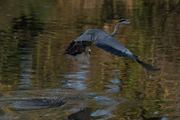 Heron Takeoff by kensom