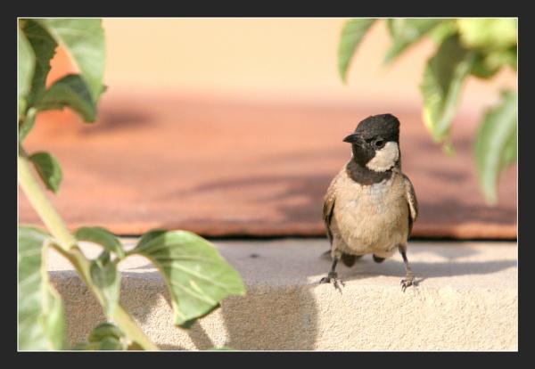 Black-capped Chickadee by abuanas