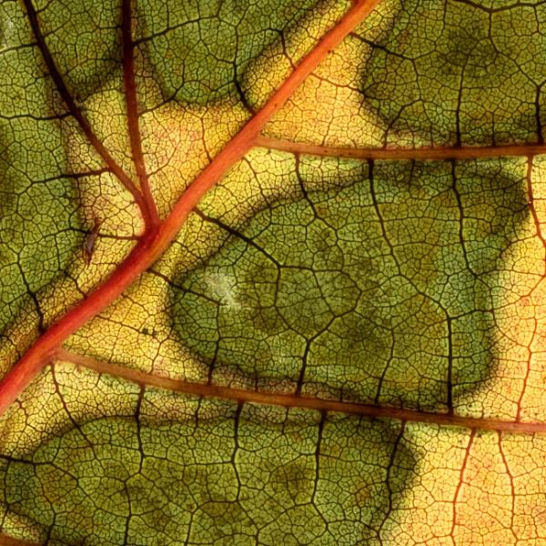Ordinance Survey map of an Autumn leaf by Nodulespix
