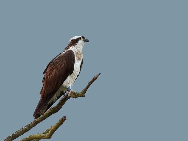 Osprey (Pandion haliaetus) by DerekL