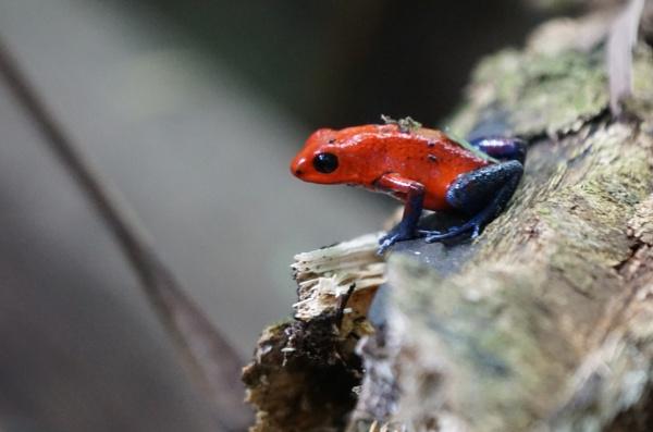 Blue Jean Frog by Silverzone