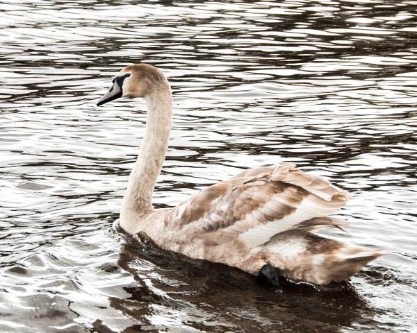 Mute Swan by JFitz