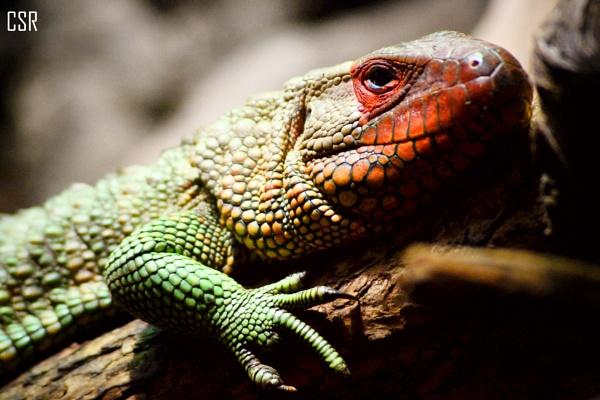 Caiman lizard by xGei8ht