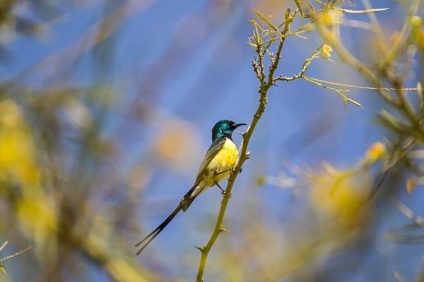A Nile Valley Sunbird by WorldInFocus
