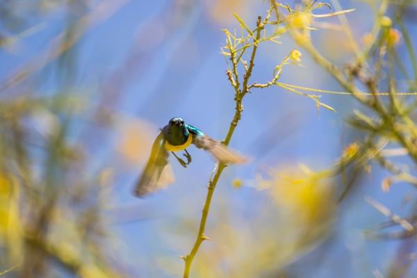 A Nile Valley Sunbird in flight by WorldInFocus