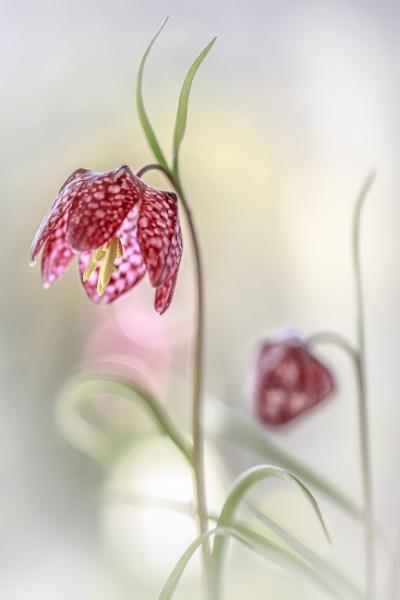 Fritillaria meleagris by MandyD