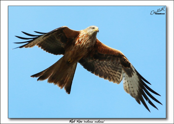 Red Kite \'No strings Attached\' by matrix45