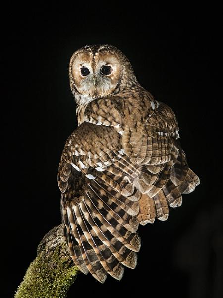 Wild Tawny Owl by Jamie_MacArthur