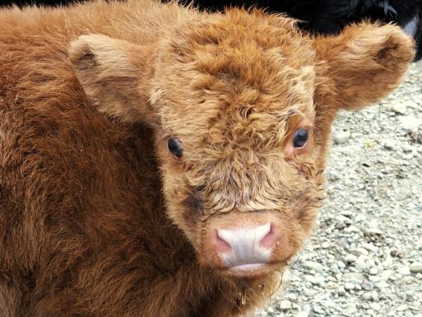 A Wee Highland Coo by ianmoorcroft