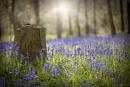 English Bluebells by jackyp