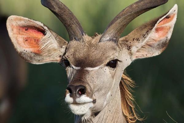 Young Kudu Bull by geoffash26