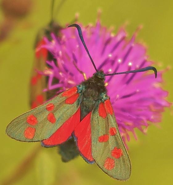 Six spot Burnet moth by georgiepoolie
