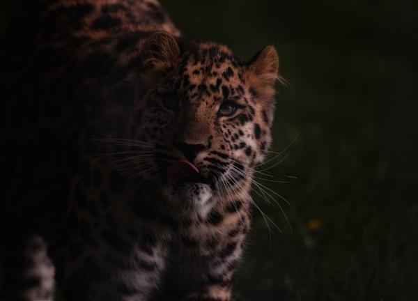 Amur Leopard (Panthera pardus orientalis) by answersonapostcard