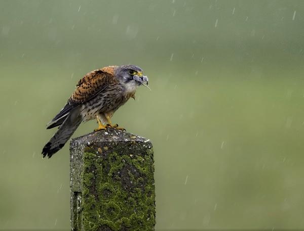 Kestrel hunting in the rain by movingmountain