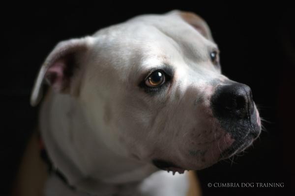 The American Bulldog pt 2 by CumbriaDogTraining