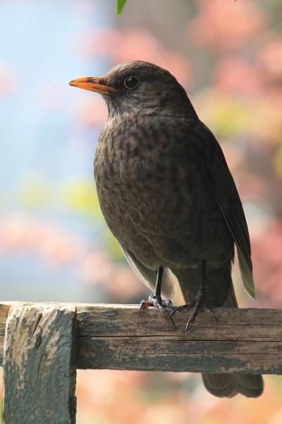 Mrs Blackbird. by Fernowl