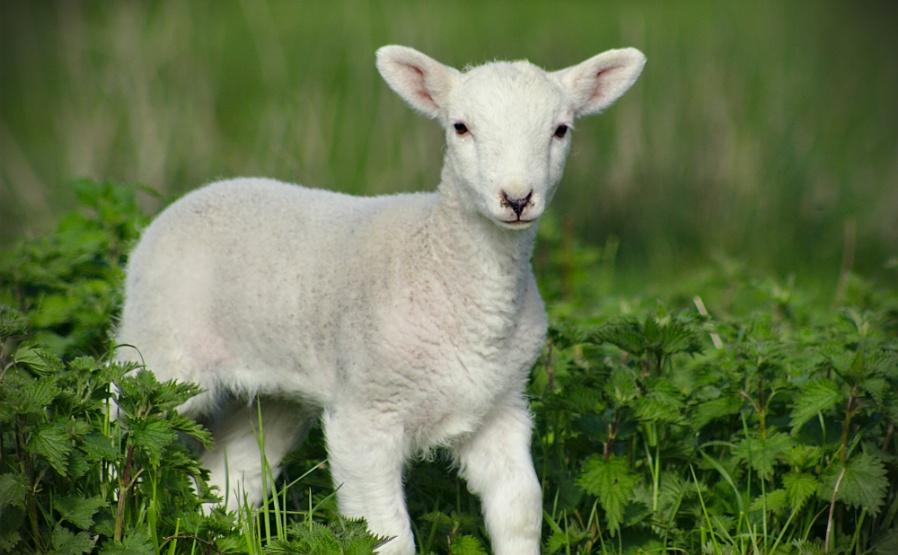 Spring Time Lamb