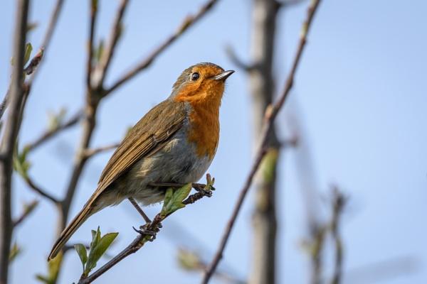 Robin by dlm71