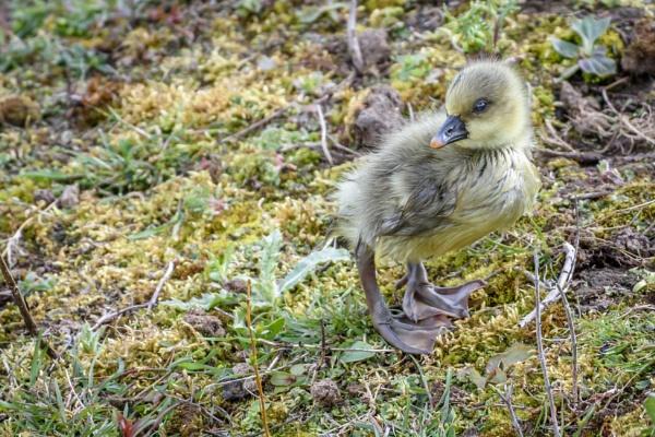 Greylag Chick by dlm71