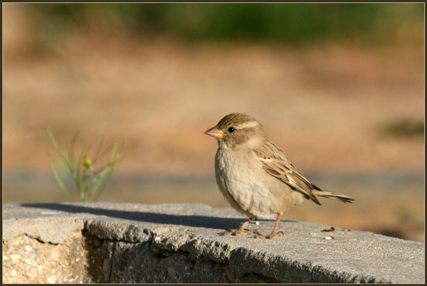 A female house sparrow by abuanas