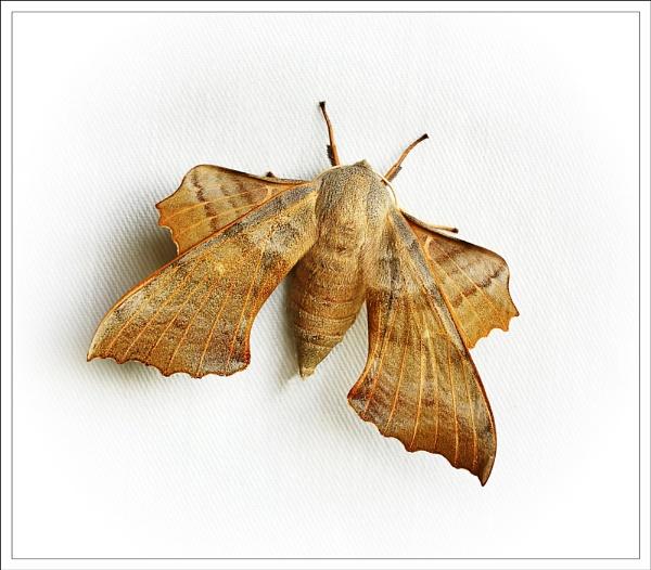 Poplar Hawk-moth. by bricurtis
