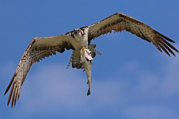 Osprey and Fish by BHSDallas