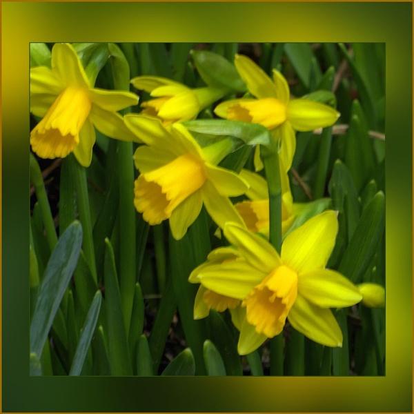 Daffodil Days by Joline