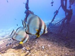 Bat fish in the Red Sea at 30 metres