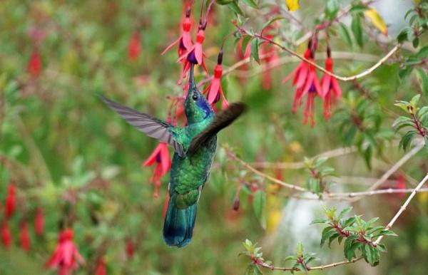 Hummingbird on Fuchsia by Silverzone
