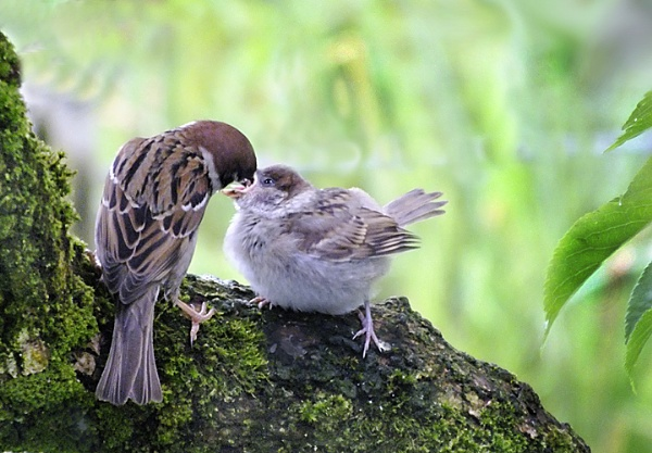 Sparrow feeding its young. by aliciabeesley