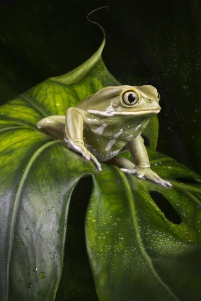 Waxy monkey tree frog by Angi_Wallace