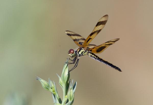 Dragon Fly by mjparmy
