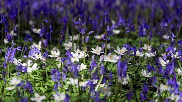 Sussex Bluebells by Phil_Bird