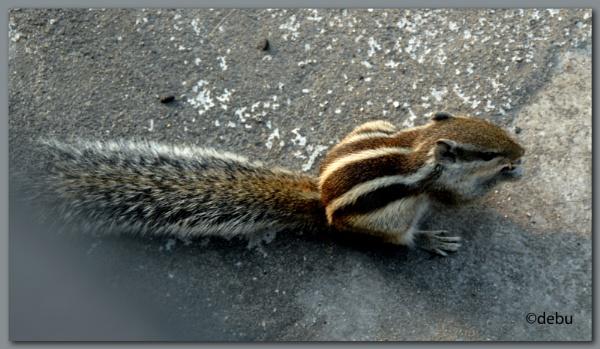 Indian palm squirrel by debu