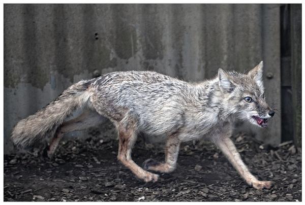 Corsac Fox by Steinmachine