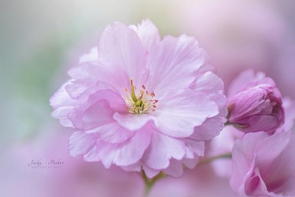 Prunus \'Kanzan\' by jackyp