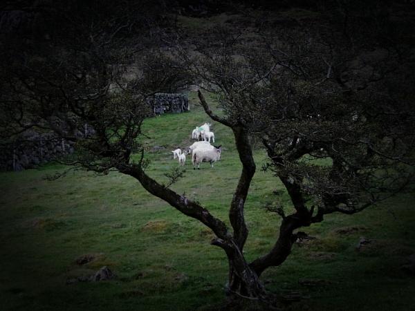 Spring in N. Ireland. by barn yard