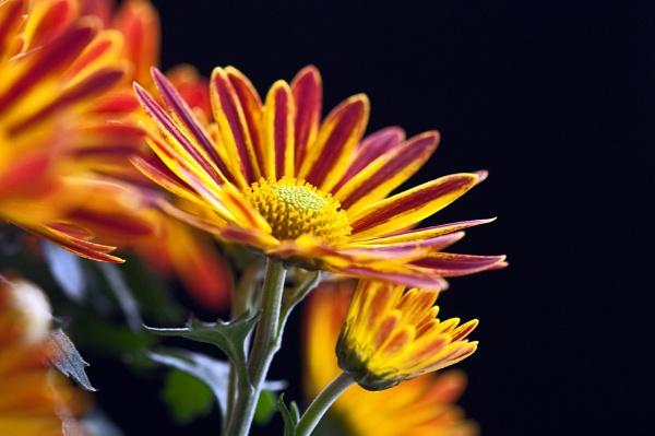 Chrysanthemum by Fred263