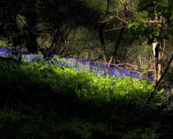 Bluebell Wood by Cynog