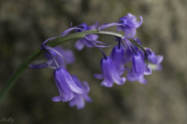 Blue bells by pentaxpatty