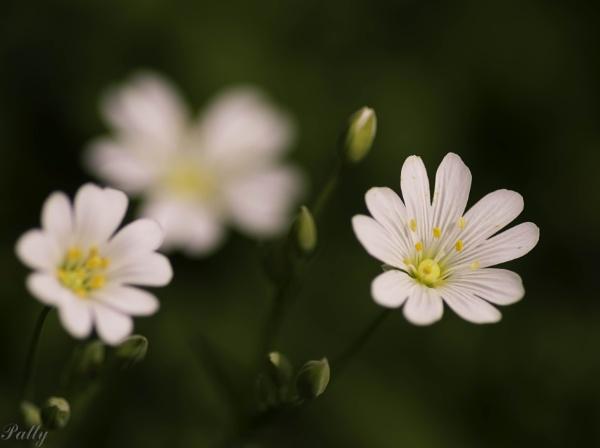 Wood anemone by pentaxpatty