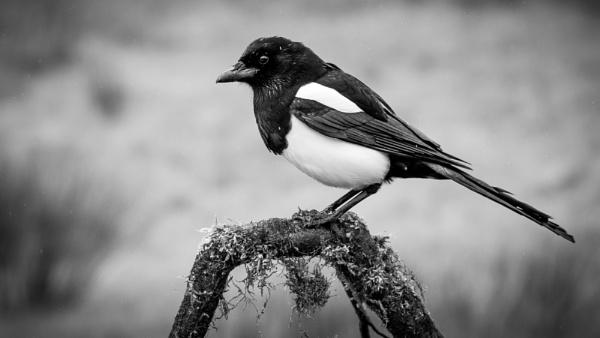 Magpie by Stevetheroofer