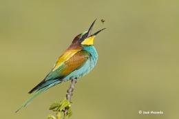 Bee-eater (Merops apiaster)