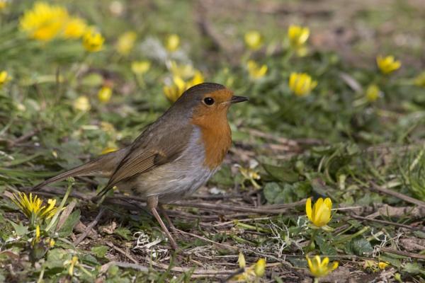 Red Red Robin by CanonRebecca22