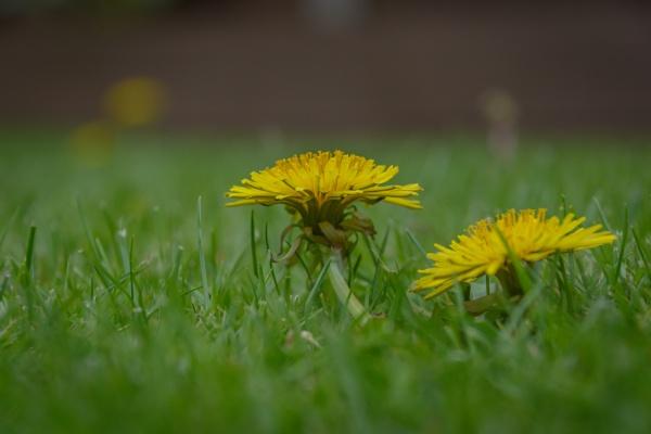 Dandelion by dlm71