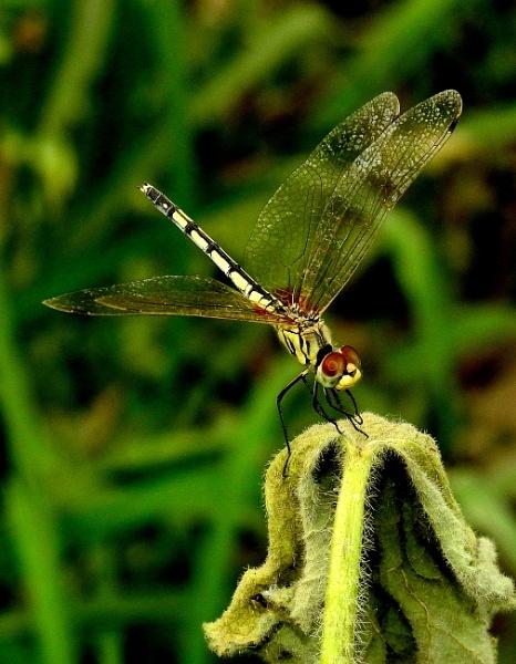 dragon fly by gautamc