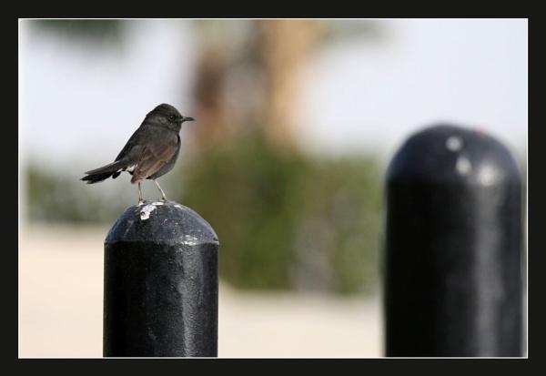 Black Scrub Robin by abuanas