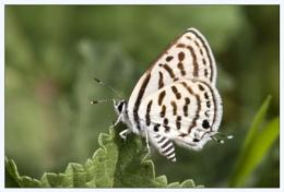Little Tiger Blue (Tarucus balkanicus)