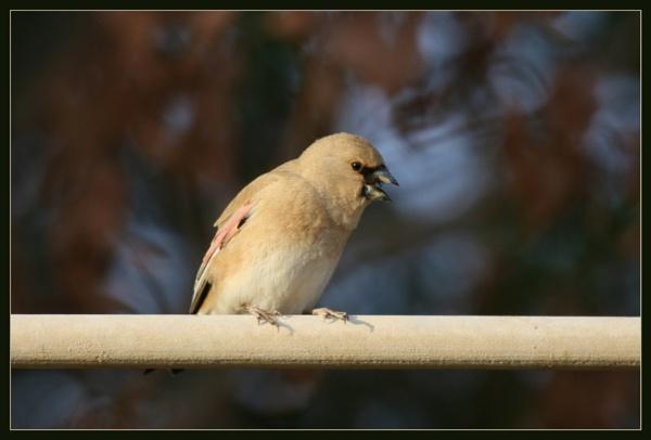 Desert Finch (Rhodospiza obsoleta) by abuanas